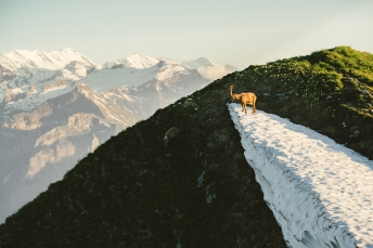Ibex in the Swiss Alps.