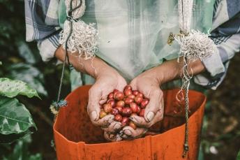 J. Hornig Guatemala coffee production.